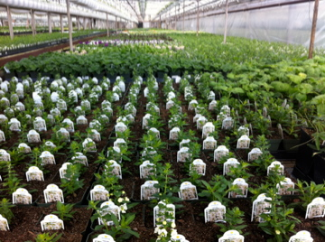 greenhouse herbs